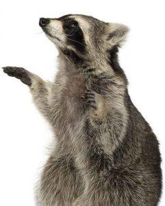 looking-raccoon