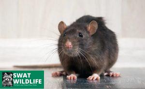 Rat Removal Toronto