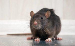 Vaughan Rat Catching