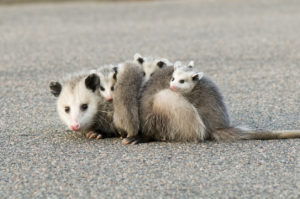 How to Avoid Attracting Opossums