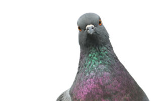 Issues Pigeons Can Cause to Your Property
