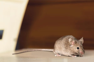 Tips for Homes with Unexpected Mice Issues