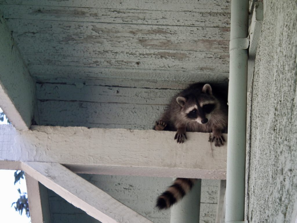 Signs that Raccoons Live in Your Attic
