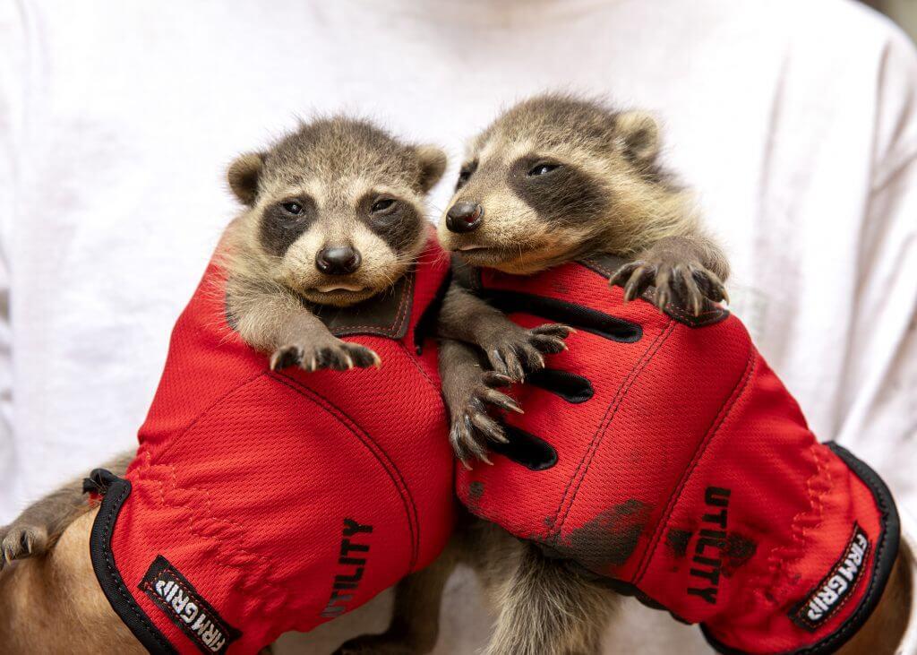 raccoon removal toronto
