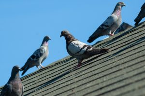 Pigeon Removal Toronto