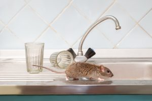 Closeup young rat on kitchen sink