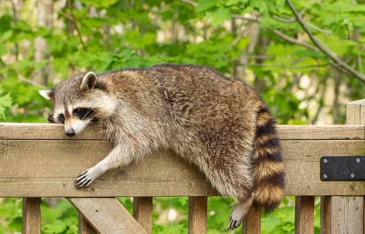 raccoon on a fence