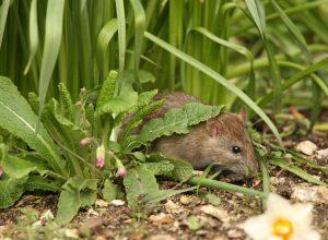 rat in backyard