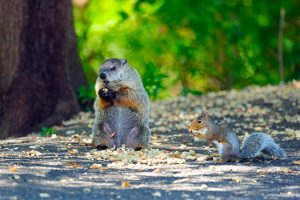 Squirrel and Groundhog