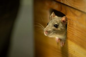 Mice looking out of a wooden box