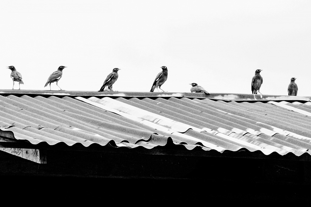 Birds on the roof with social distance concept   SWAT Wildlife