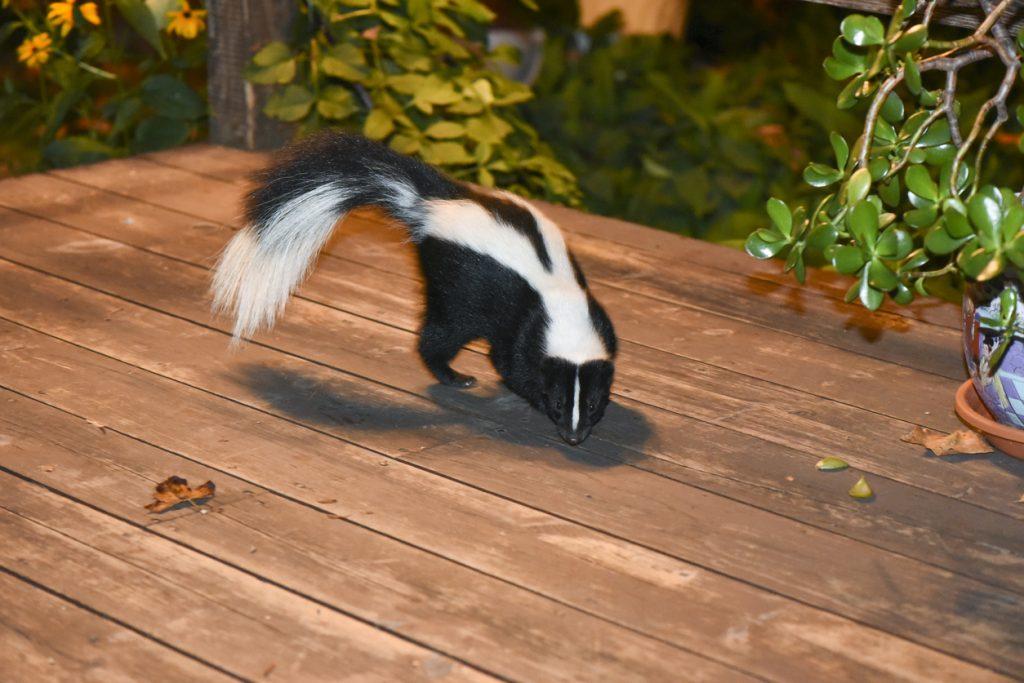 Skunk on a wooden floor