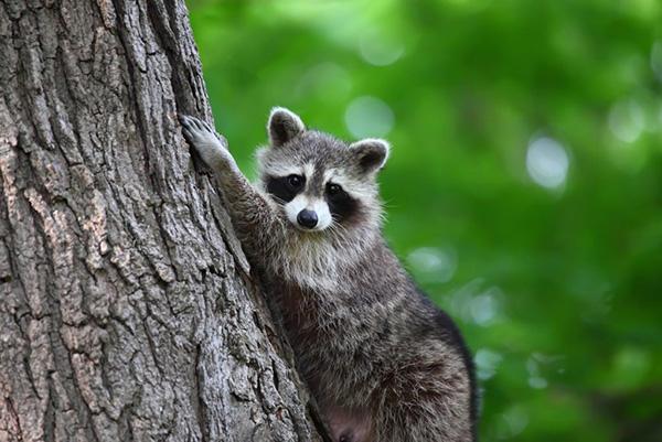 Raccoon climbing a tree