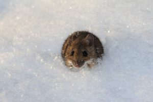 Getting Rid of Unwanted House Guests This Winter- SWAT Wildlife