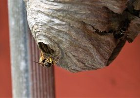 8 Tips to Prevent Wasp Nests around Your Home - SWAT Wildlife