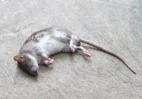 rat was crushed remains of the dead
