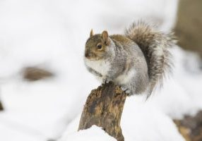 Sciurus carolinensis, common name eastern gray squirrel in winter