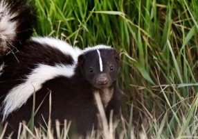 skunk